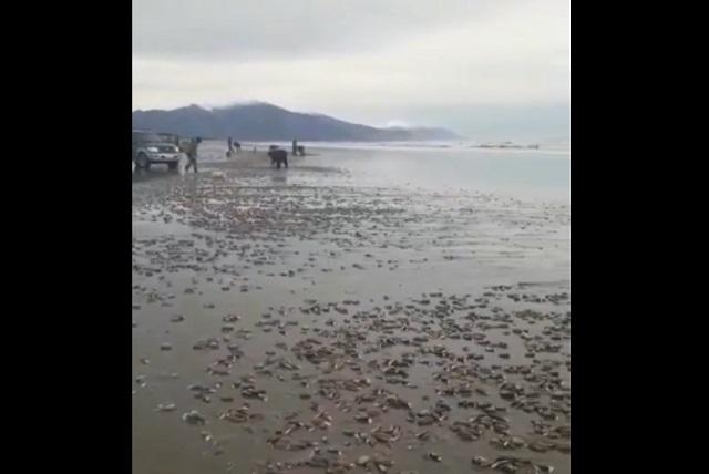 Мидии выбросило на берег