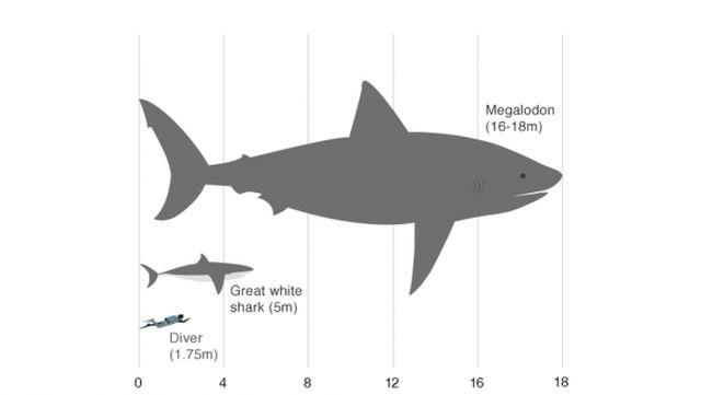 Сравнение мегалодона с обычной акулой и человеком