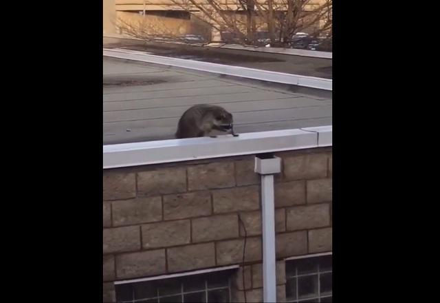 Енот на крыше