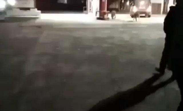 Лев гуляет с собаками