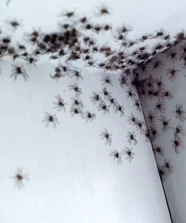 Пауки-охотники расползаются по стене