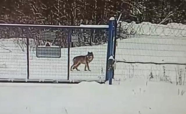 Заяц убежал от волка