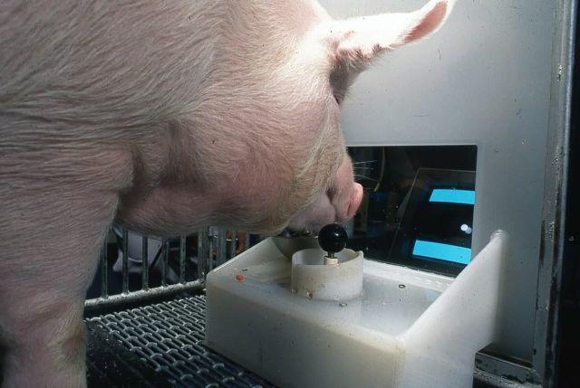 Свинья играет