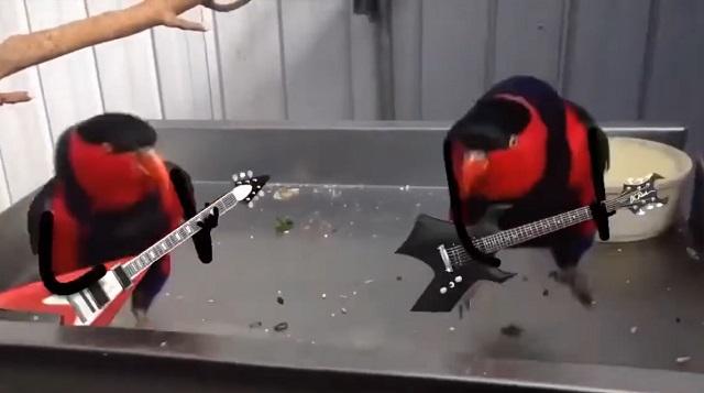 Попугаи с гитарами