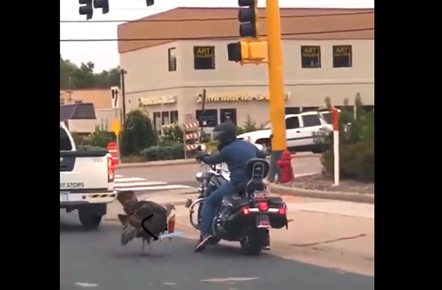 Индюк на дороге
