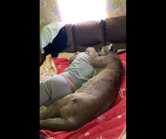 пума на диване