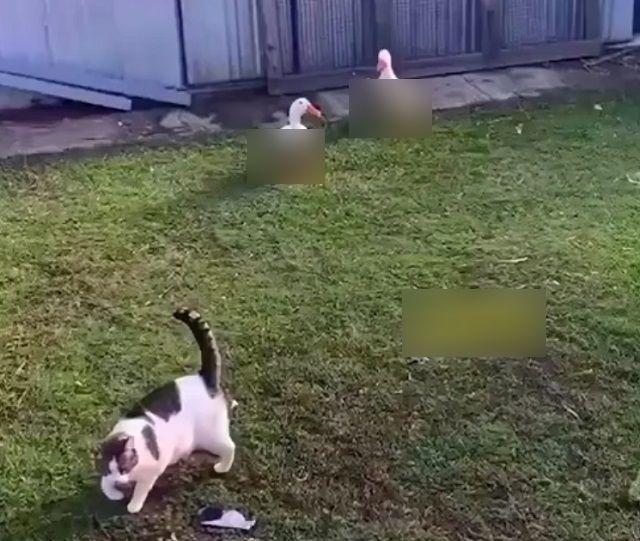 Кот и гуси