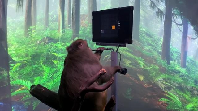 """обезьяна, которая играет в видеоигры """"силой мысли"""""""