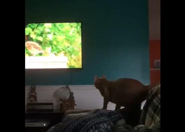 кот прыгает на телевизор