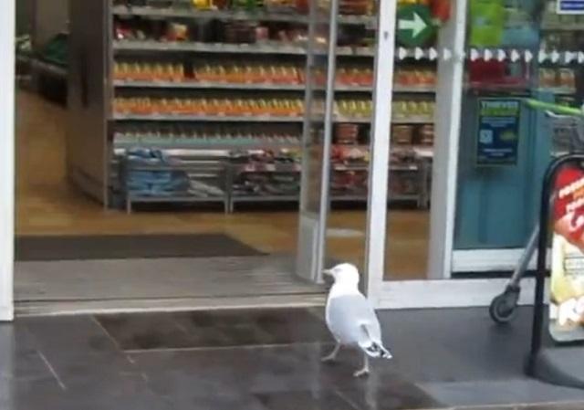 чайка заходит в магазин