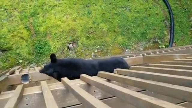 Медведь - ниндзя