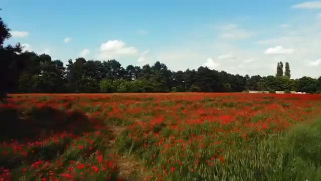 поле маков